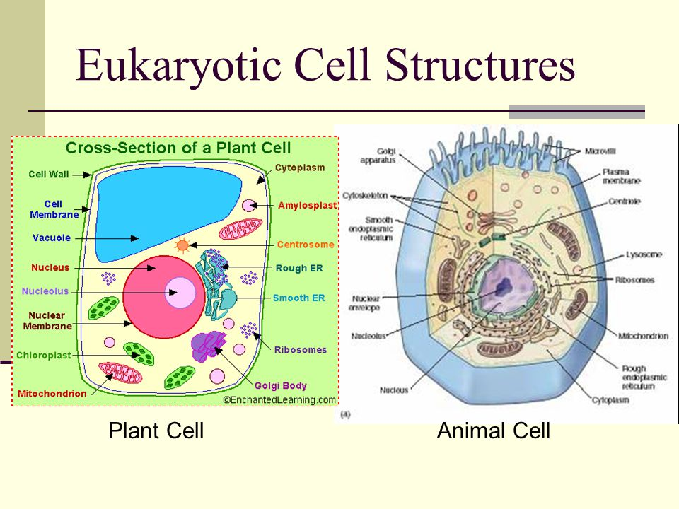 Eukaryotic Cell Structures Plant CellAnimal Cell