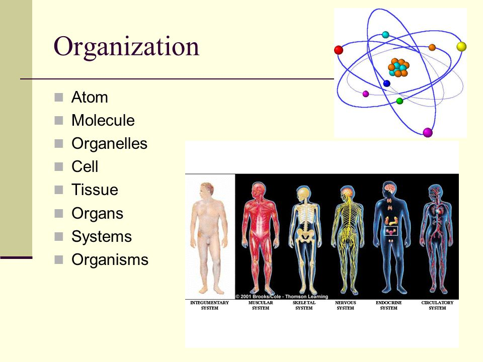 Organization Atom Molecule Organelles Cell Tissue Organs Systems Organisms