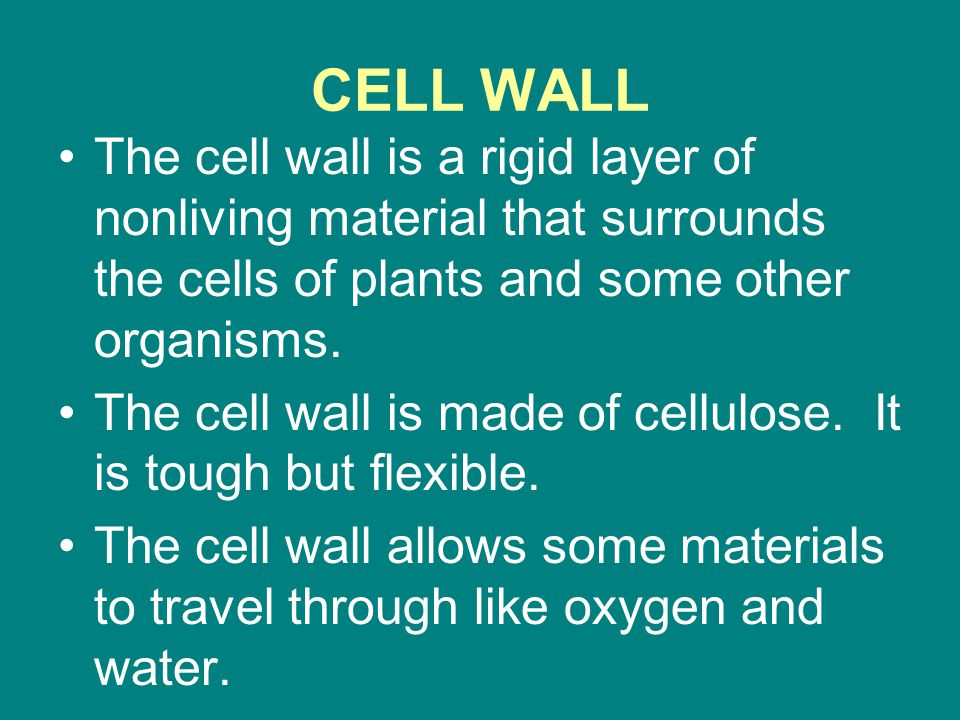 CELL WALL The cell wall is a rigid layer of nonliving material that surrounds the cells of plants and some other organisms. The cell wall is made of c