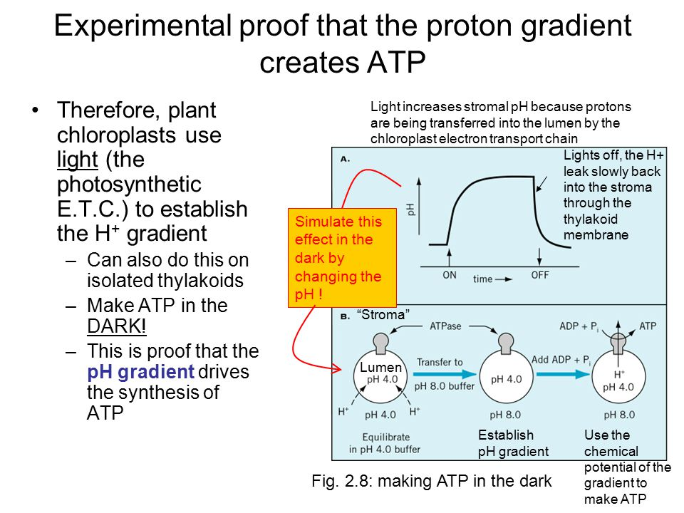 Experimental proof that the proton gradient creates ATP Therefore, plant chloroplasts use light (the photosynthetic E.T.C.) to establish the H + gradient –Can also do this on isolated thylakoids –Make ATP in the DARK.