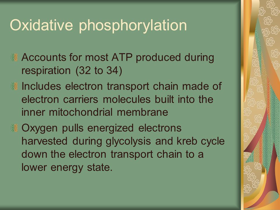 Oxidative phosphorylation Accounts for most ATP produced during respiration (32 to 34) Includes electron transport chain made of electron carriers mol