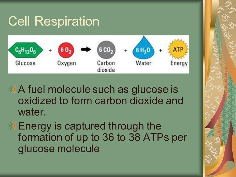 Glycolysis Lactic Acid Fermentation Alcoholic Fermentation Krebs Cycle Electron Transport Chain