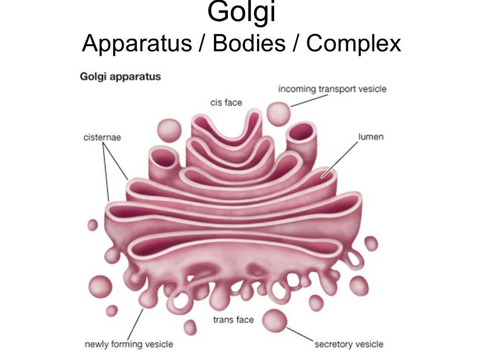 Golgi Apparatus / Bodies / Complex