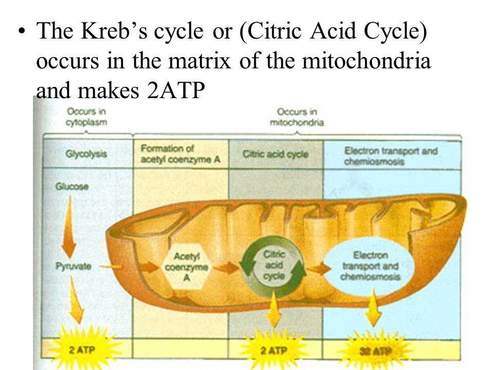 The Kreb's cycle or (Citric Acid Cycle) occurs in the matrix of the mitochondria and makes 2ATP