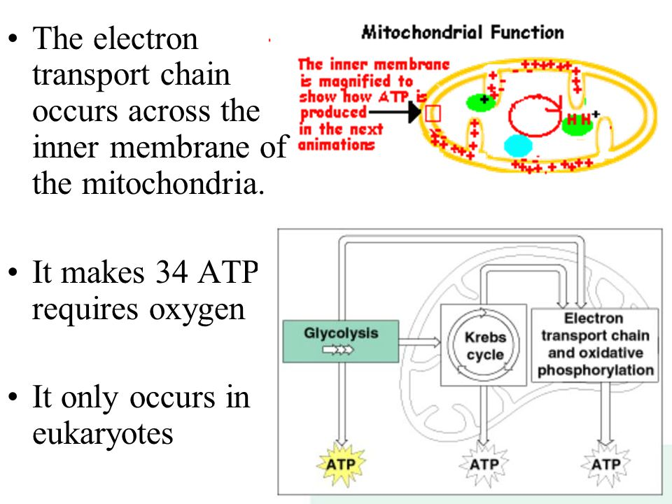 The electron transport chain occurs across the inner membrane of the mitochondria.