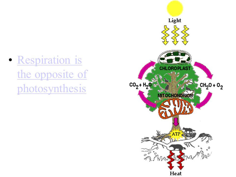 Respiration is the opposite of photosynthesisRespiration is the opposite of photosynthesis