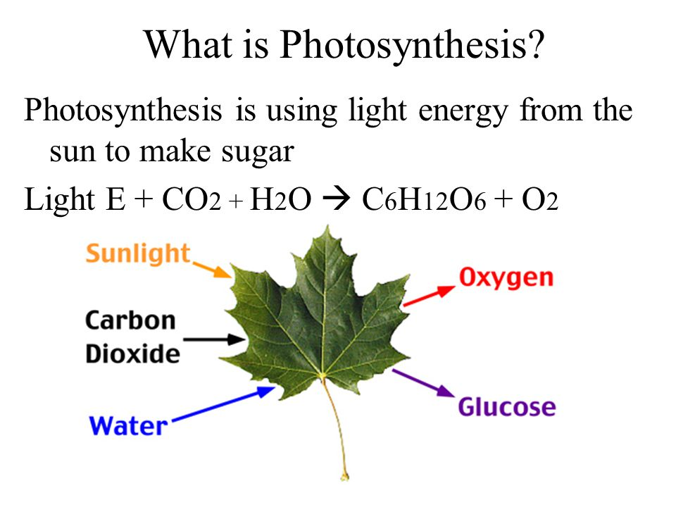 What is Photosynthesis? Photosynthesis is using light energy from the sun to make sugar Light E + CO 2 + H 2 O  C 6 H 12 O 6 + O 2