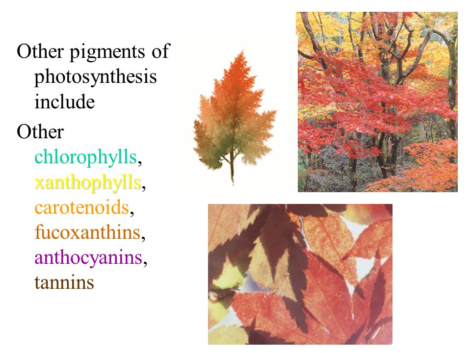 Other pigments of photosynthesis include xanthophylls Other chlorophylls, xanthophylls, carotenoids, fucoxanthins, anthocyanins, tannins