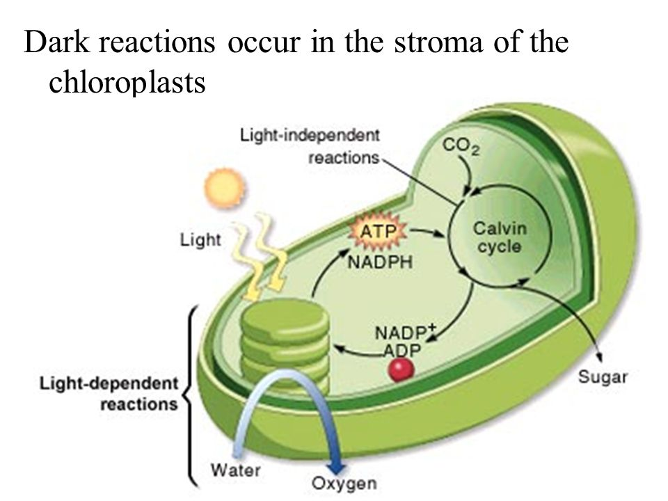 Dark reactions occur in the stroma of the chloroplasts