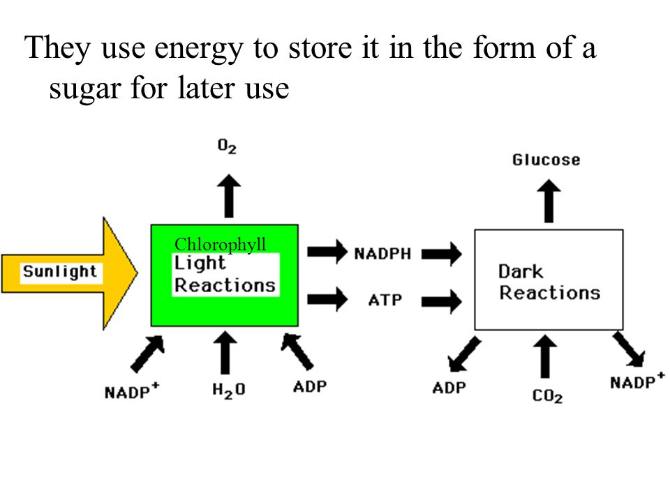 They use energy to store it in the form of a sugar for later use Chlorophyll