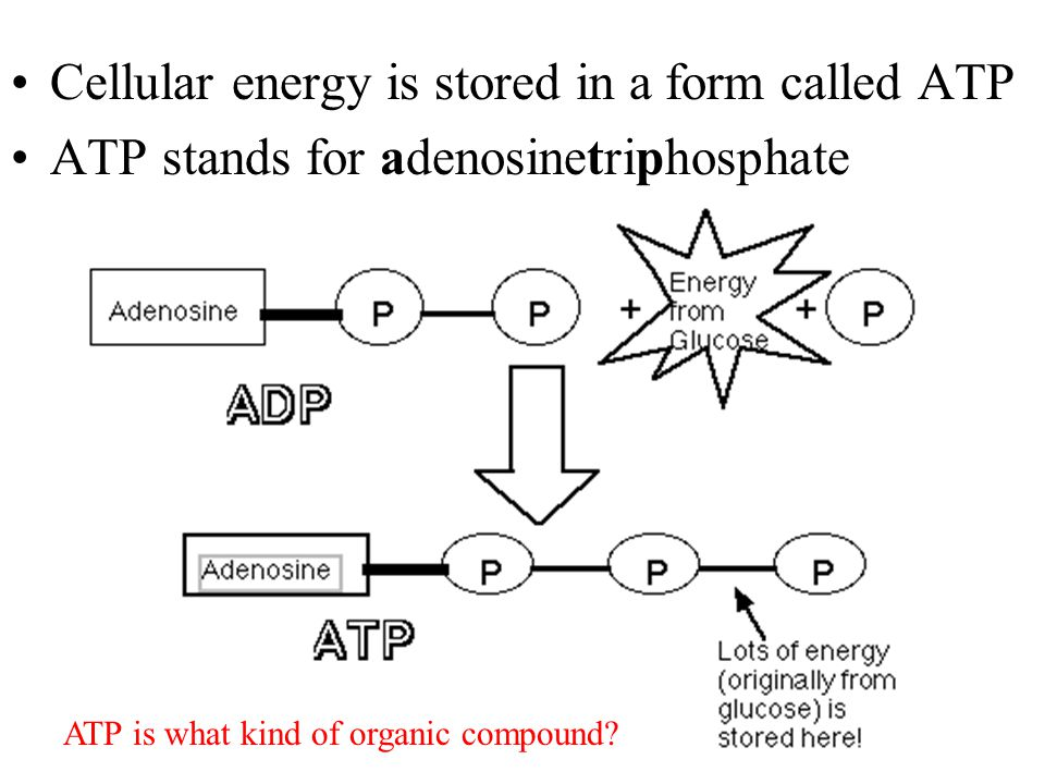 Cellular energy is stored in a form called ATP ATP stands for adenosinetriphosphate ATP is what kind of organic compound?