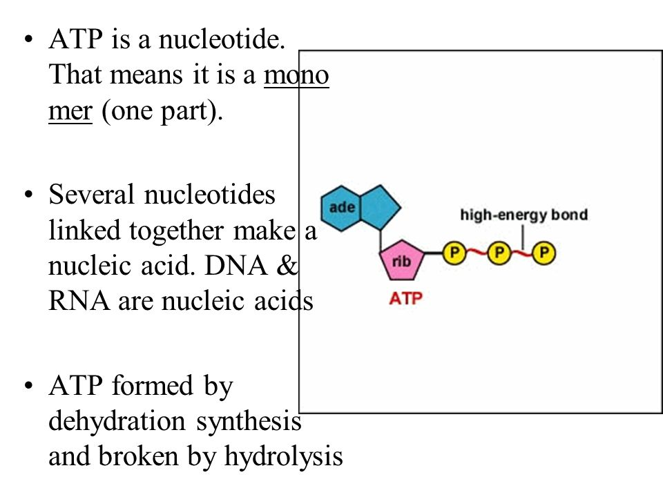 ATP is a nucleotide. That means it is a mono mer (one part). Several nucleotides linked together make a nucleic acid. DNA & RNA are nucleic acids ATP