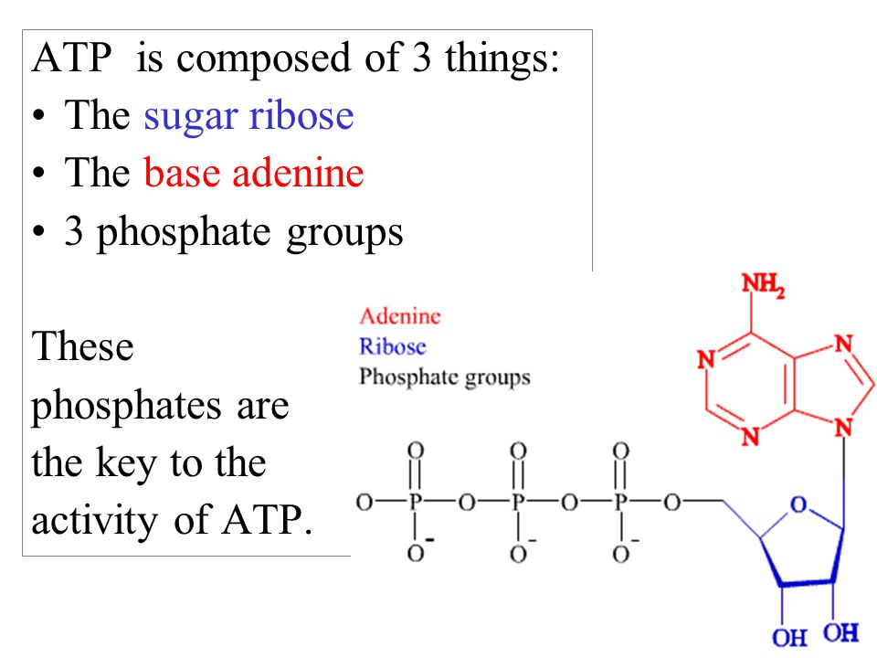 ATP is composed of 3 things: The sugar ribose The base adenine 3 phosphate groups These phosphates are the key to the activity of ATP.