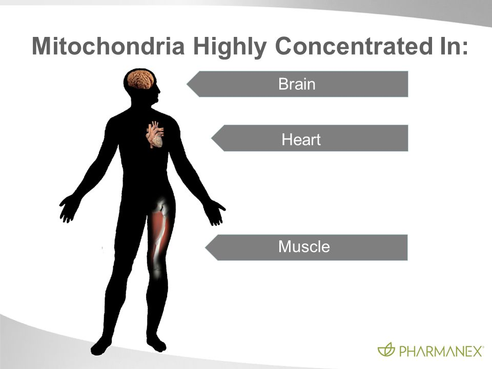 Brain Heart Muscle Mitochondria Highly Concentrated In:
