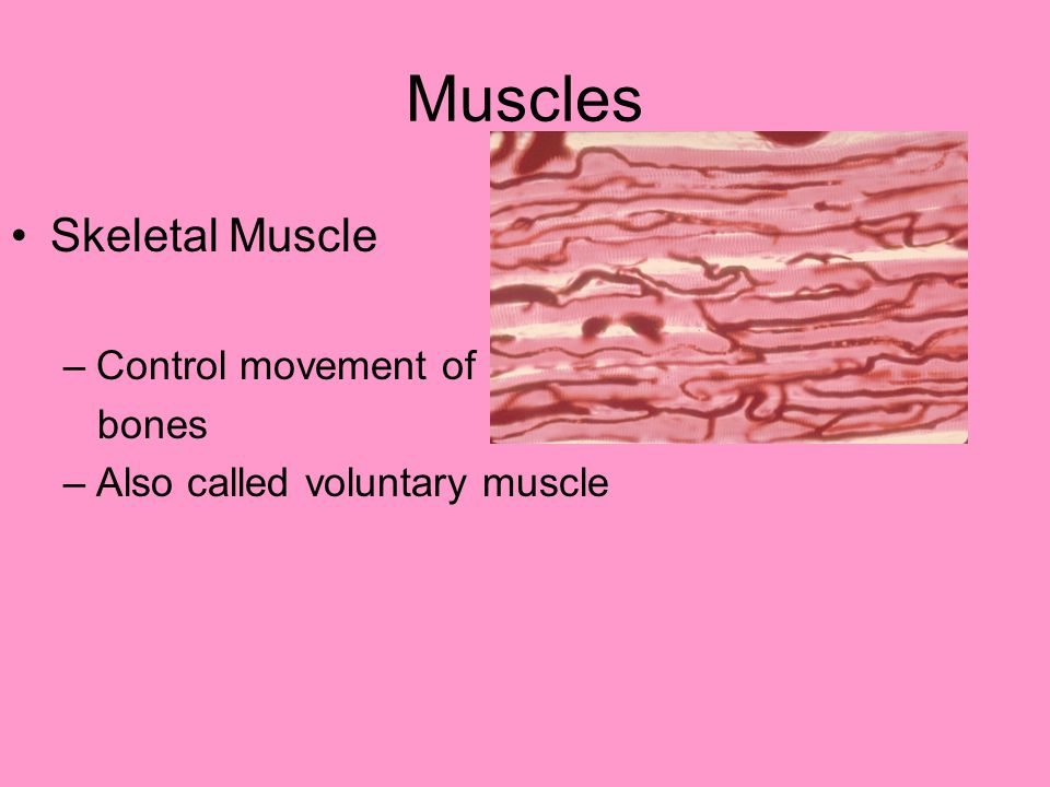 Muscles Skeletal Muscle –Control movement of bones –Also called voluntary muscle