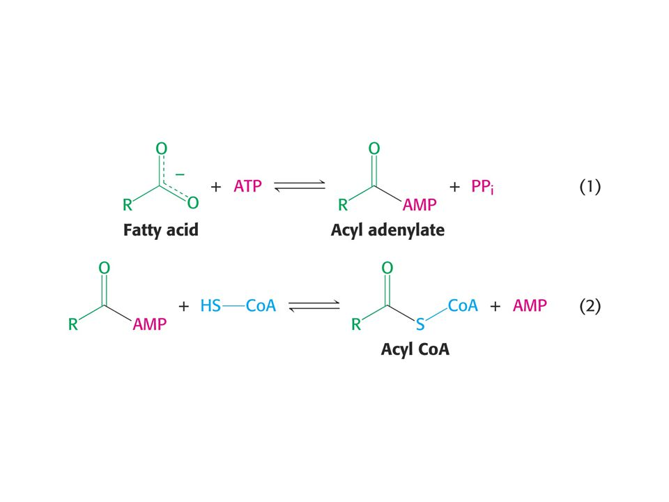 Import of acyl-CoA into mitochondria  -oxidation occurs in the mitochondria, requires import of long chain acyl- CoAs Acyl-CoAs are converted to acyl-carnitines by carnitine acyltransferase.