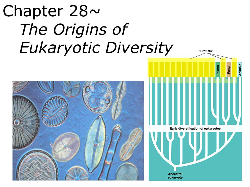 Chapter 28~ The Origins of Eukaryotic Diversity