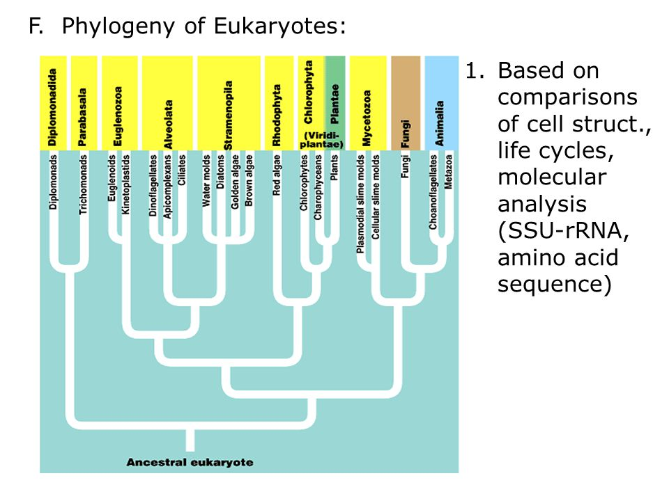 F. Phylogeny of Eukaryotes: 1.Based on comparisons of cell struct., life cycles, molecular analysis (SSU-rRNA, amino acid sequence)
