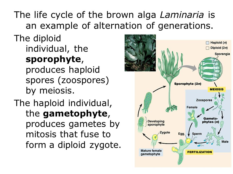 The life cycle of the brown alga Laminaria is an example of alternation of generations.