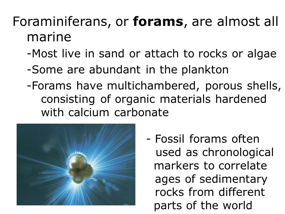 Foraminiferans, or forams, are almost all marine -Most live in sand or attach to rocks or algae -Some are abundant in the plankton -Forams have multichambered, porous shells, consisting of organic materials hardened with calcium carbonate - Fossil forams often used as chronological markers to correlate ages of sedimentary rocks from different parts of the world