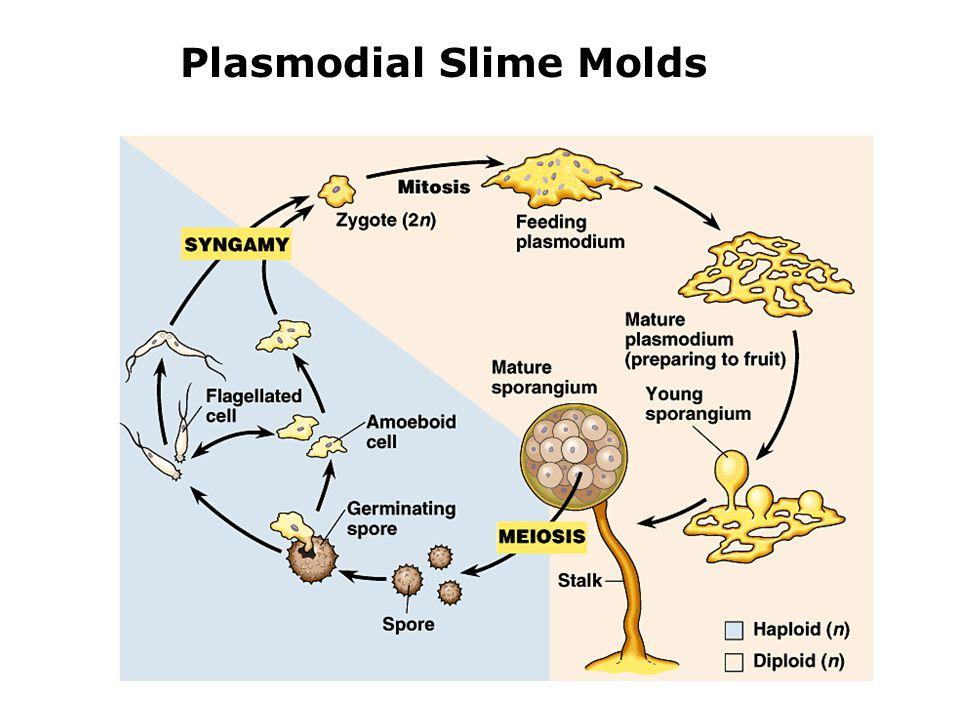 Plasmodial Slime Molds