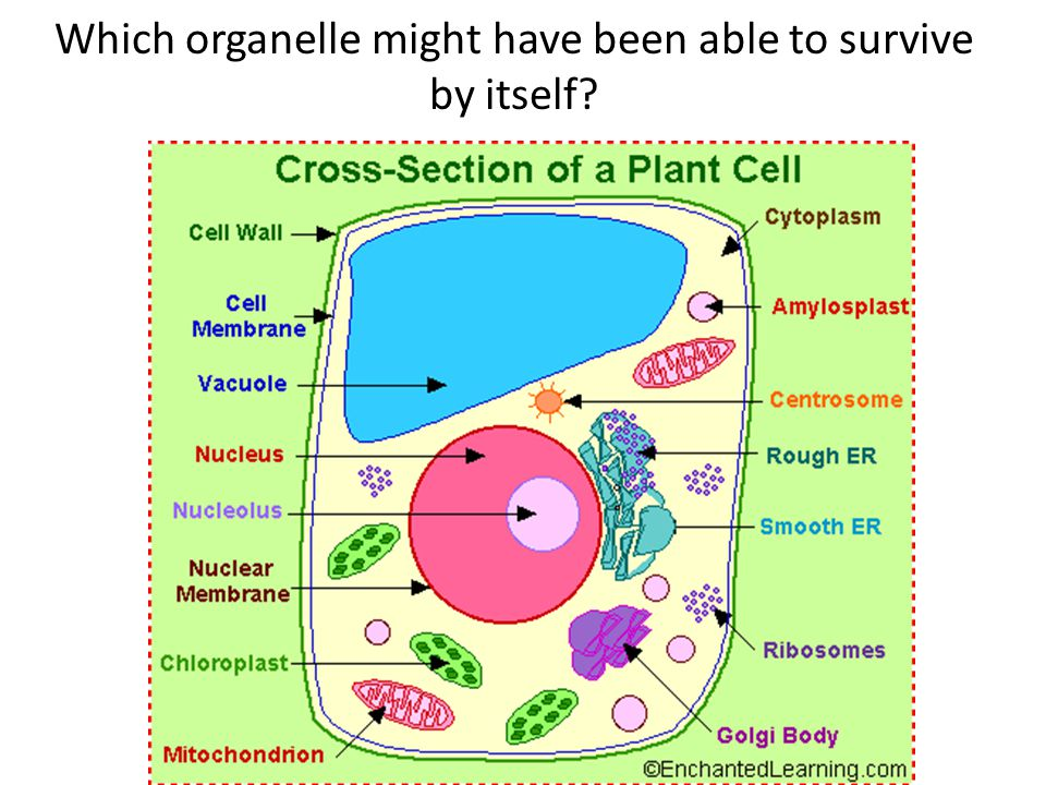 Which organelle might have been able to survive by itself?