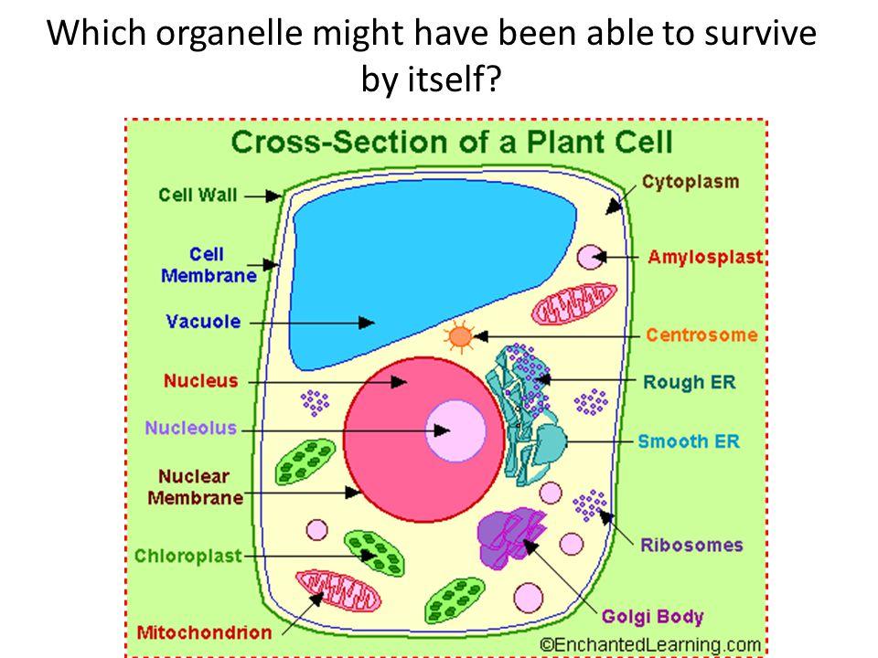 Mitochondria! Chloroplast!