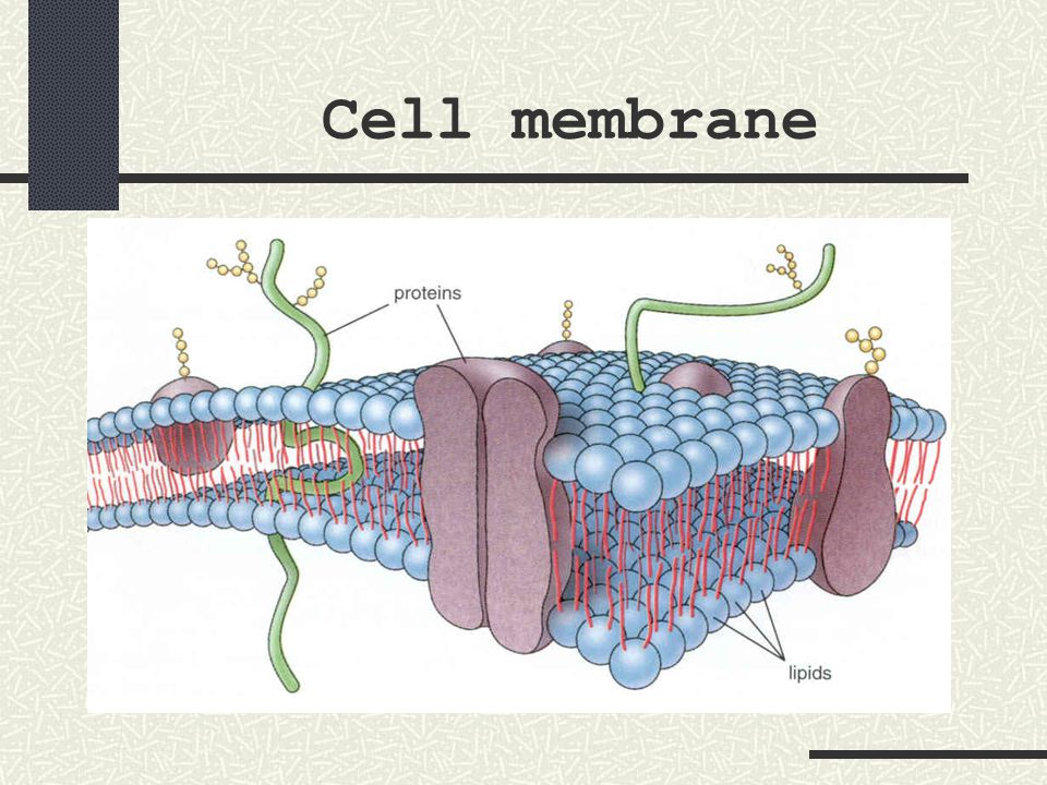 mitochondria nicknamed the powerhouse of the cell bean-shaped or rod- shaped structures made of two layers of unit membranes
