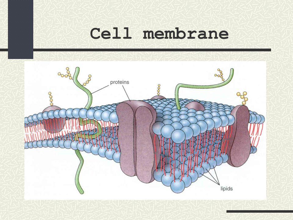 Liver cell nucleus