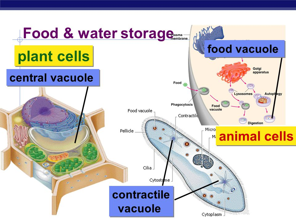 Vacuoles & vesicles  Function  moving material around cell  storage  Structure  membrane sac small food particle vesicle vacuole filled w/ digestive enzymes vesicle filled w/ digested nutrients