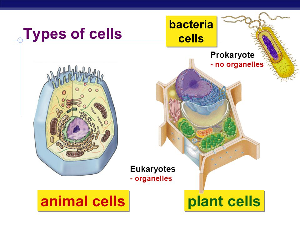 bacteria cells Types of cells animal cells plant cells Prokaryote - no organelles Eukaryotes - organelles