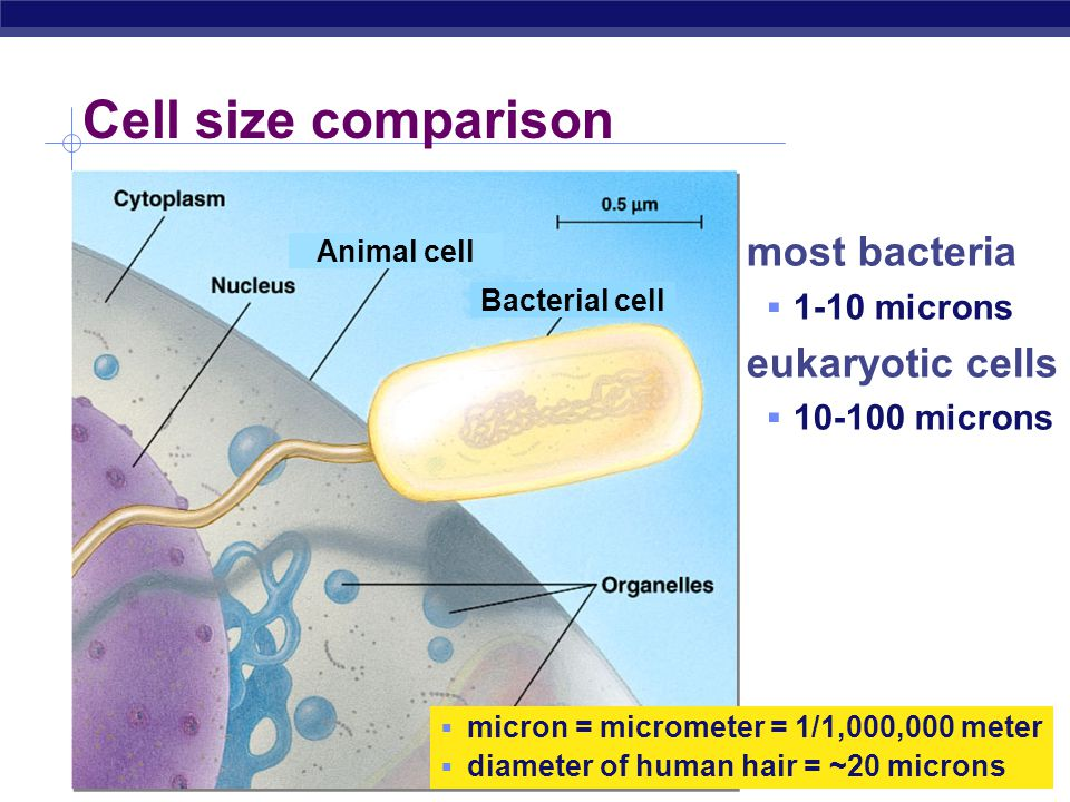 cell membrane  cell boundary  controls movement of materials in & out  recognizes signals cytoplasm  jelly-like material holding organelles in place vacuole & vesicles  transport inside cells  storage