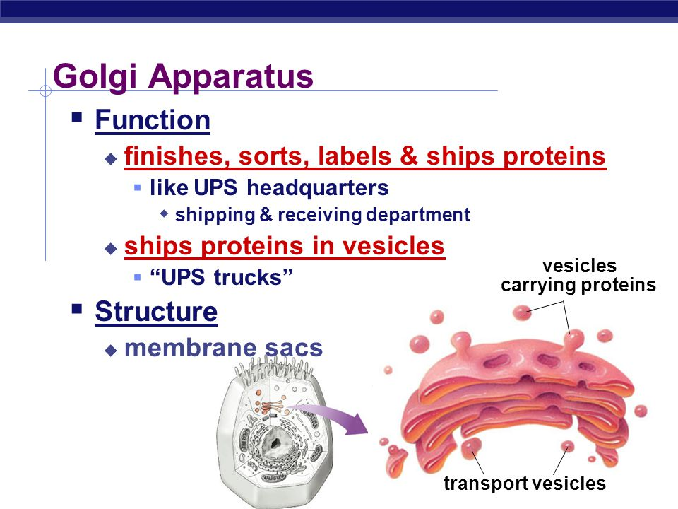 lysosome  food digestion  garbage disposal & recycling cell membrane  cell boundary  controls movement of materials in & out  recognizes signals cytoplasm  jelly-like material holding organelles in place vacuole & vesicles  transport inside cells  storage mitochondria  make ATP energy from sugar + O 2 nucleus  protects DNA  controls cell ribosomes  builds proteins ER  works on proteins  makes membranes