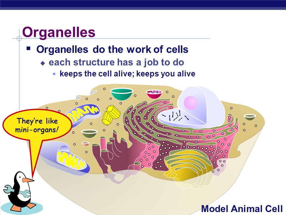  Cells have 3 main jobs  make energy  need energy for all activities  need to clean up waste produced while making energy  make proteins  proteins do all the work in a cell, so we need lots of them  make more cells  for growth  to replace damaged or diseased cells The Jobs of Cells Our organelles do all these jobs!