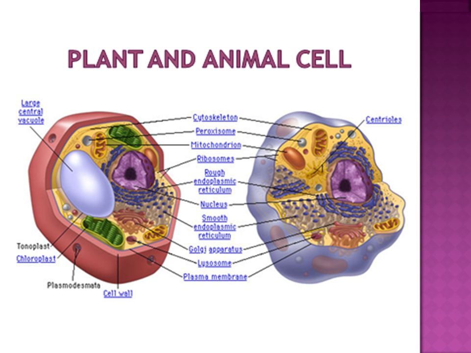  Mitochondrion (mitochondria) is a membrane- enclosed structure found in eukaryotic cells.