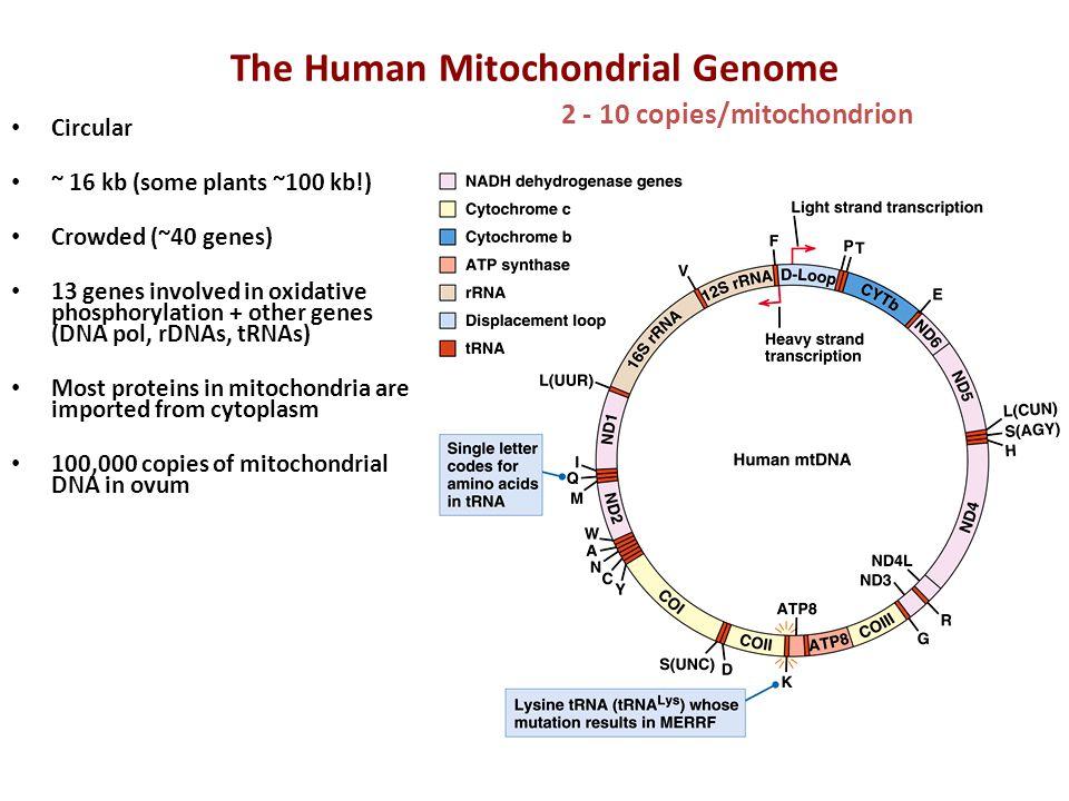 The Human Mitochondrial Genome Circular ~ 16 kb (some plants ~100 kb!) Crowded (~40 genes) 13 genes involved in oxidative phosphorylation + other gene