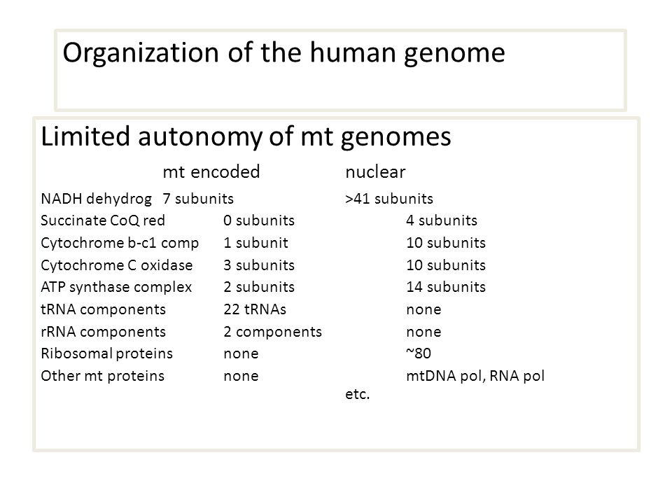 Organization of the human genome Limited autonomy of mt genomes mt encodednuclear NADH dehydrog 7 subunits>41 subunits Succinate CoQ red0 subunits4 subunits Cytochrome b-c1 comp1 subunit10 subunits Cytochrome C oxidase 3 subunits10 subunits ATP synthase complex2 subunits14 subunits tRNA components22 tRNAsnone rRNA components 2 componentsnone Ribosomal proteins none ~80 Other mt proteinsnonemtDNA pol, RNA pol etc.