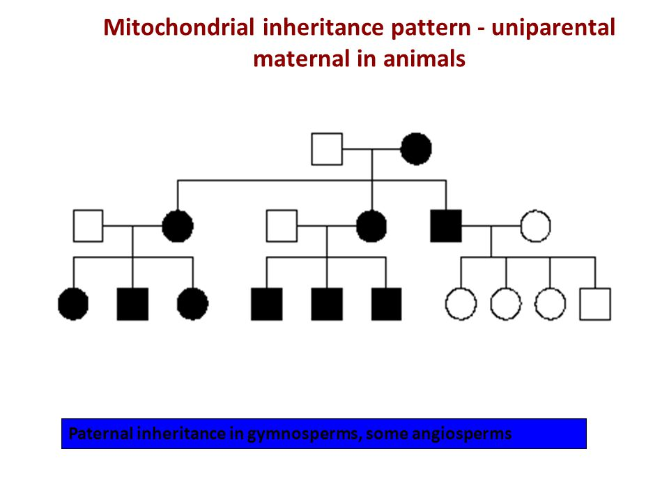 Mitochondrial inheritance pattern - uniparental maternal in animals Paternal inheritance in gymnosperms, some angiosperms