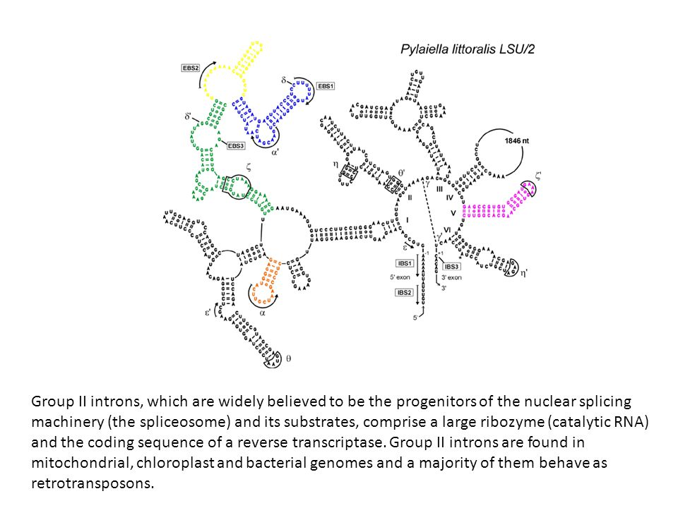 Group II introns, which are widely believed to be the progenitors of the nuclear splicing machinery (the spliceosome) and its substrates, comprise a l