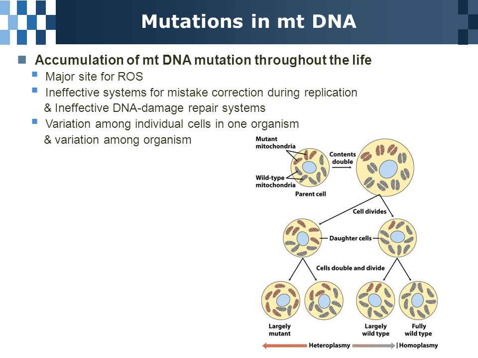 Mutations in mt DNA Accumulation of mt DNA mutation throughout the life  Major site for ROS  Ineffective systems for mistake correction during replication & Ineffective DNA-damage repair systems  Variation among individual cells in one organism & variation among organism