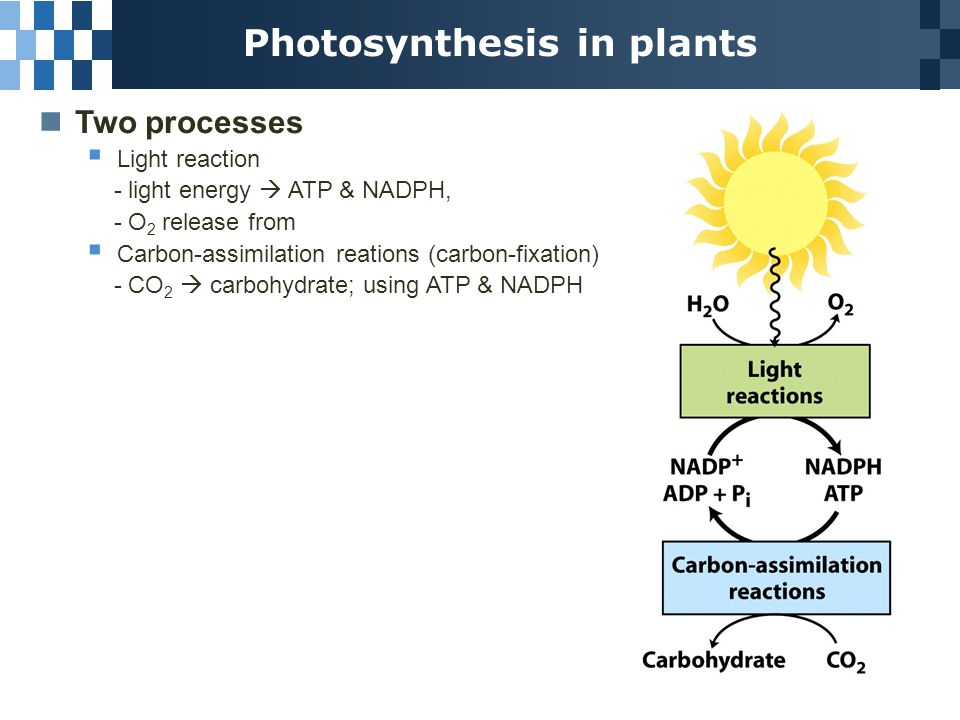 Photosynthesis in plants Two processes  Light reaction - light energy  ATP & NADPH, - O 2 release from  Carbon-assimilation reations (carbon-fixation) - CO 2  carbohydrate; using ATP & NADPH