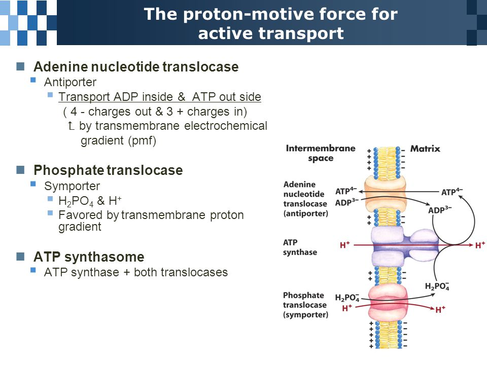 The proton-motive force for active transport Adenine nucleotide translocase  Antiporter  Transport ADP inside & ATP out side ( 4 - charges out & 3 + charges in)  by transmembrane electrochemical gradient (pmf) Phosphate translocase  Symporter  H 2 PO 4 & H +  Favored by transmembrane proton gradient ATP synthasome  ATP synthase + both translocases