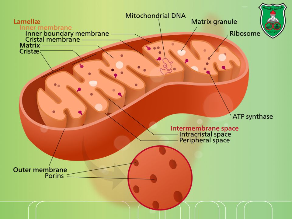 MERRF and others One main syndrome is myoclonic epilepsy and ragged red fiber disease (MERRF), which can be caused by a mutation in one of the mitochondrial transfer RNA genes required for synthesis of the mitochondrial proteins responsible for electron transport and production of ATP.