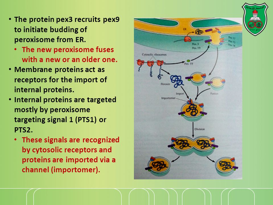 The protein pex3 recruits pex9 to initiate budding of peroxisome from ER.