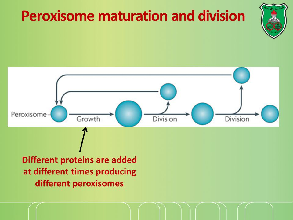Peroxisome maturation and division Different proteins are added at different times producing different peroxisomes