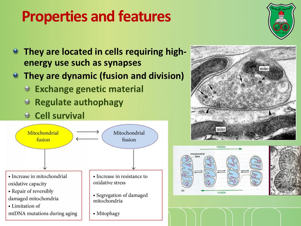 The Genetic System of Mitochondria Mitochondrial DNA (~16 Kb) is circular and present in multiple copies per organelle.