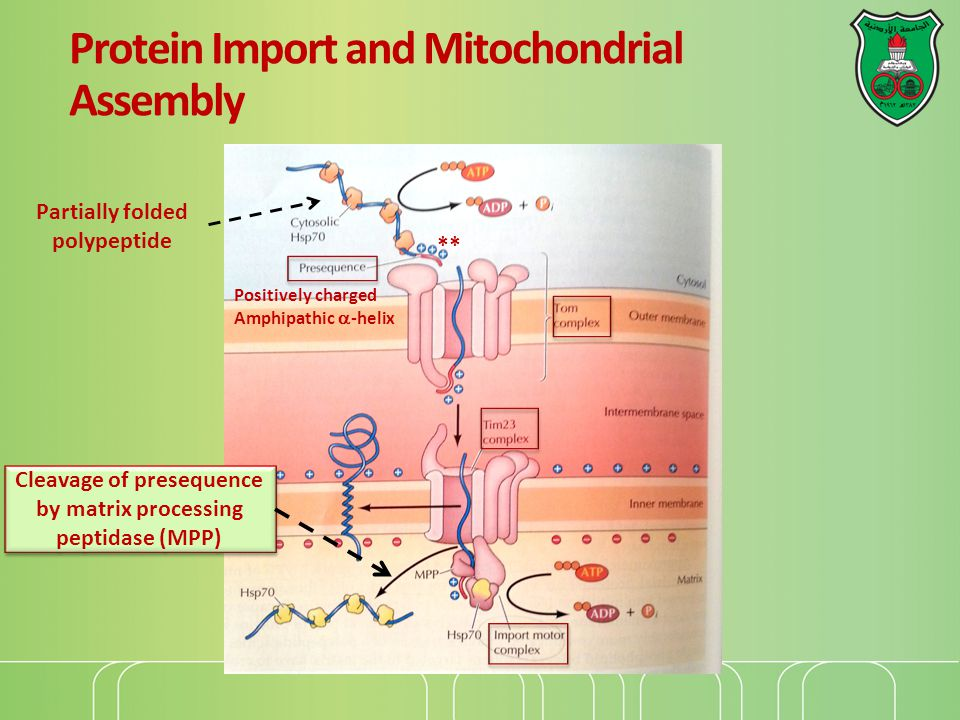 Targeting of inner membrane proteins Many mitochondrial proteins are multi-pass transmembrane proteins that do not contain presequences, but have multiple internal import signals They are recognized by mobile chaperones in the intermemebrane space.