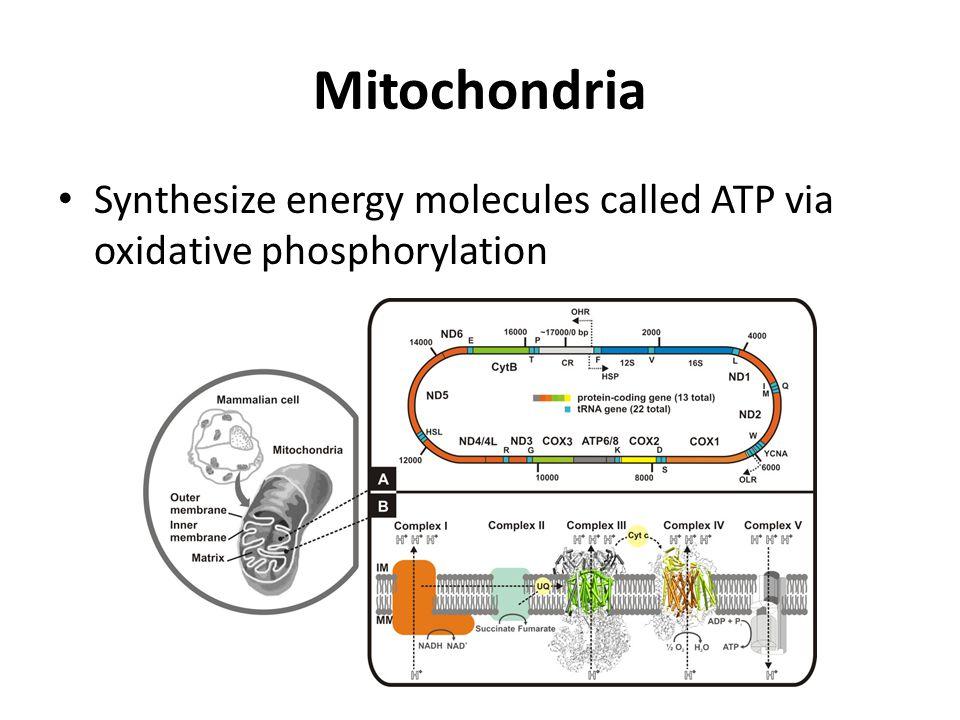 Mitochondria Synthesize energy molecules called ATP via oxidative phosphorylation