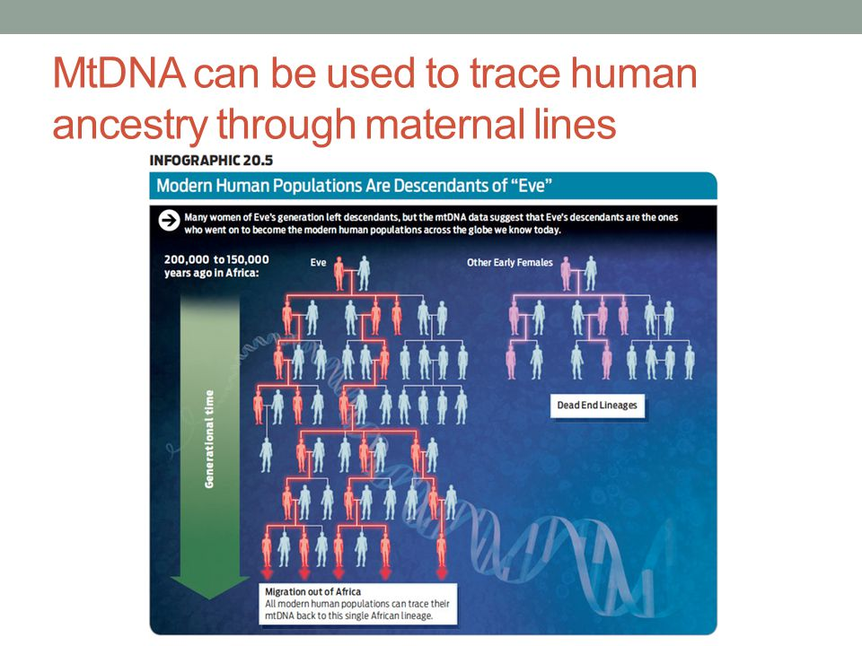 MtDNA can be used to trace human ancestry through maternal lines