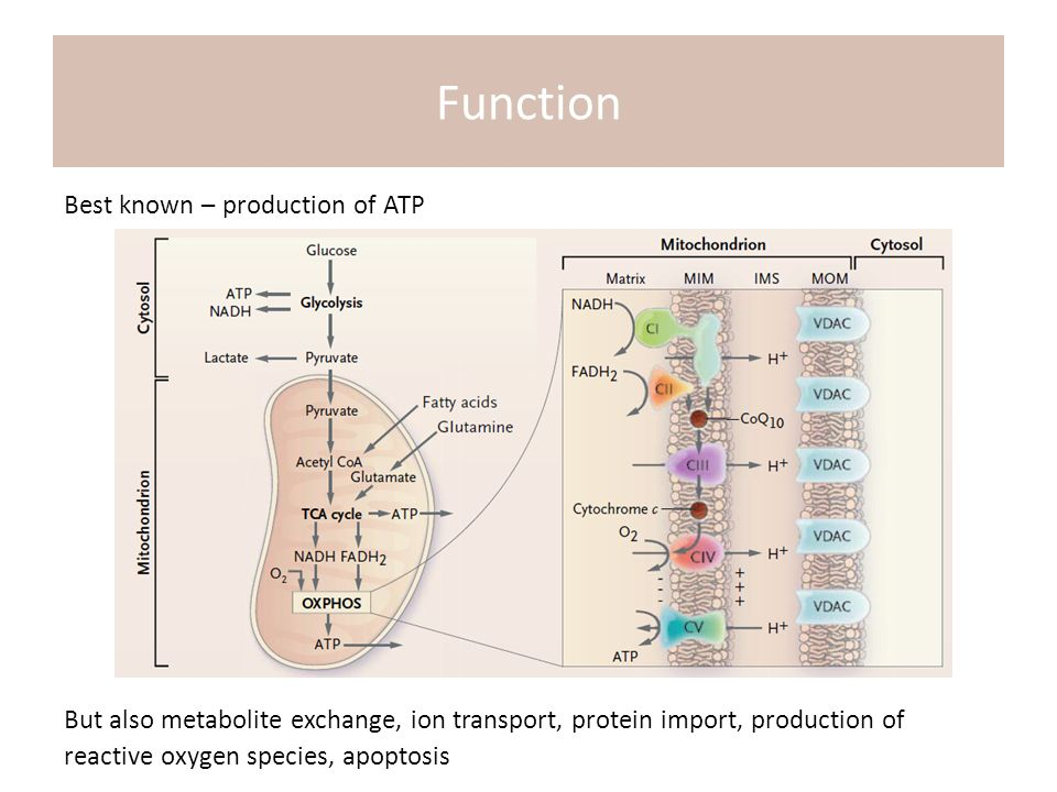 Best known – production of ATP But also metabolite exchange, ion transport, protein import, production of reactive oxygen species, apoptosis Function